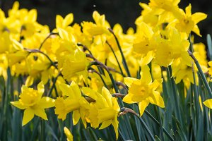 yellow daffodil flowers blooming