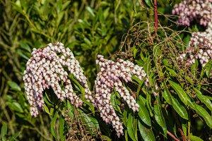 Pieris japonica shrub in bloom