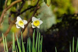 Narcissus or daffodil flowers