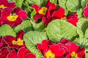 Flat of red primrose plants