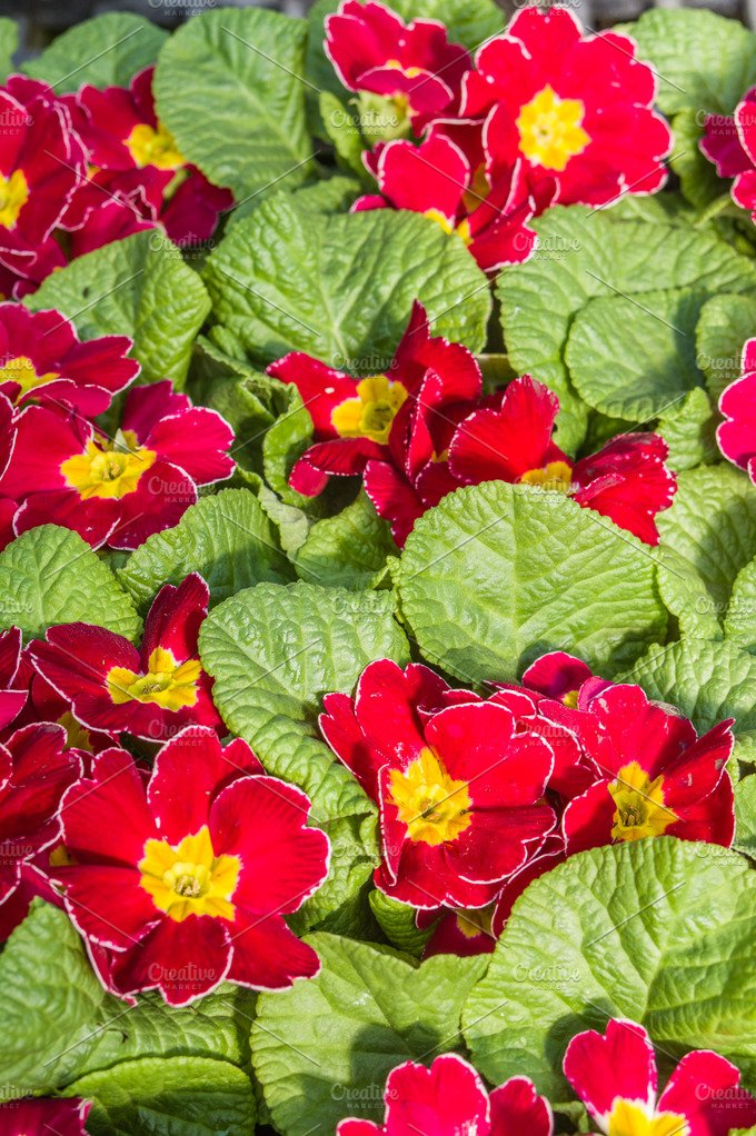 flat of red primrose plants nature photos creative market. Black Bedroom Furniture Sets. Home Design Ideas