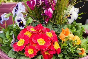 Primroses and Pansies in planter