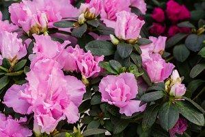 Pink Azaela flowers
