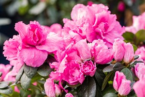 Azalea with pink flowers