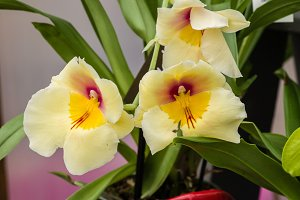 Orchid with yellow blooms
