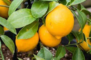 Ripening orange fruit