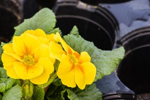 Primrose flowers in bloom