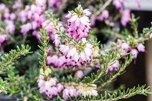 Pink Pieris japonica plant