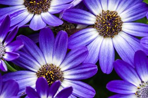 Blue aster flowers