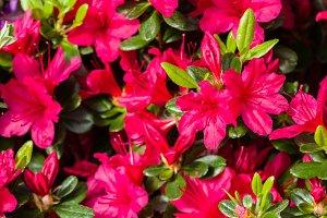 Red azalea flower