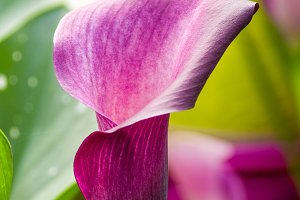 Blooming purple calla lily
