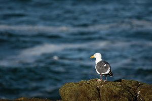 Western gull standing on rock