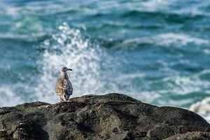 gull watching the ocean waves