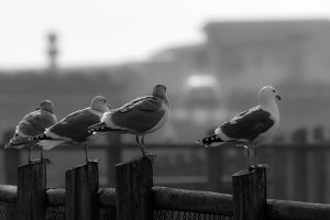 Sea gulls on wooden fence