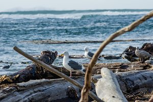 Driftwood raft wit hsea gulls