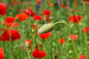 poppy flower summer