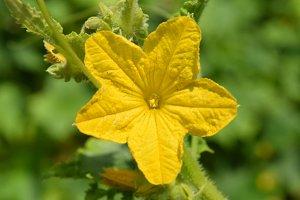 yellow cucumber flower