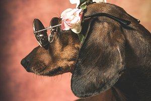 Dachshund dog with sunglasses