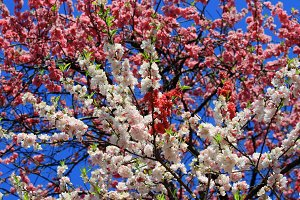 Blossoming Japanese cherry tree