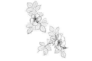 dog-rose flowers pencil drawing