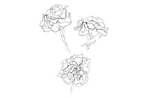 carnation flower pencil drawing