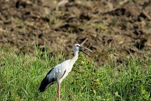 Image of stork.