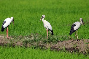 Image of stork.