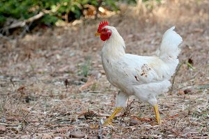 Image of white hen.