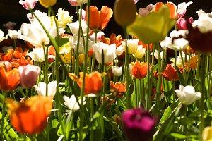 Botanical garden. Tulips