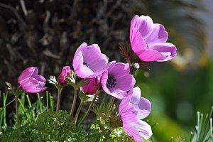 violet buttercups