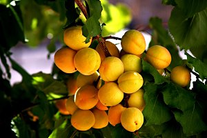 apricots banch
