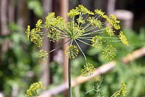 dill in bloom