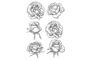 Blooming rose sketches