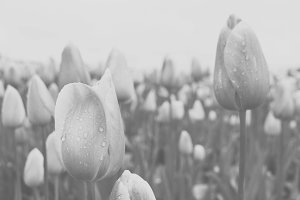 Black and White Faded Tulips