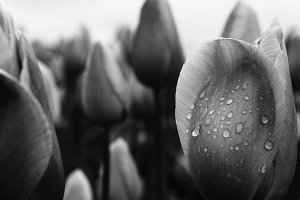 Black and White Tulip after Rain