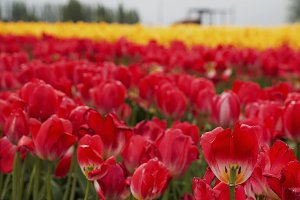 Red and Yellow Tulip field 1