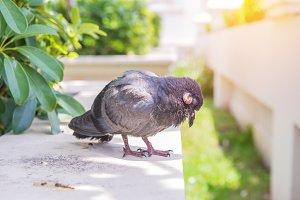 Sick pigeon Bird On The floor