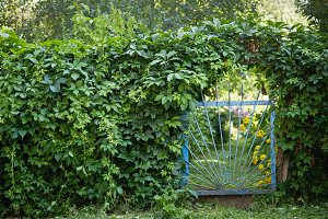 Beautiful old garden fence or gate covered by overgrown green climbing ivy