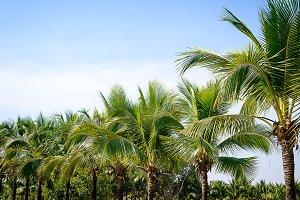 coconut Garden in island