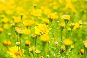Buttercup Meadow in flower Garden