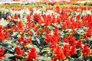 Red flowers field in the garden