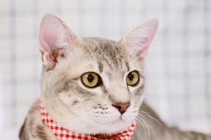 Cute tabby cat with checkered scarf