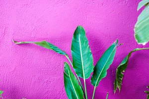 Big Leaf Plant on Purple