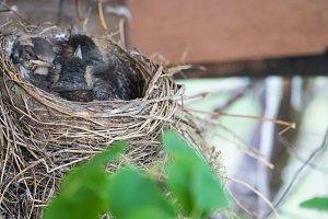Nest with chicks blackbird