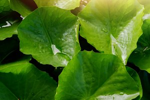 Water Lily Leaf with droplet