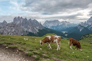 Cows in Dolomites mountains
