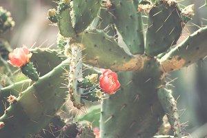Summer Cactus Flowers Desktop