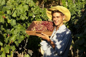 farmer picking grapes in the vineyard, vintage