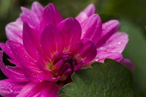 Pink dahlia with rain drops