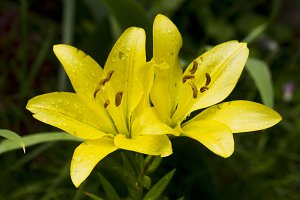 Yellow lily flower with raindrops